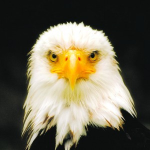bald-eagle-face
