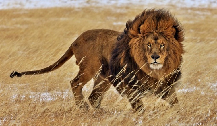 African-Lion-power-strength